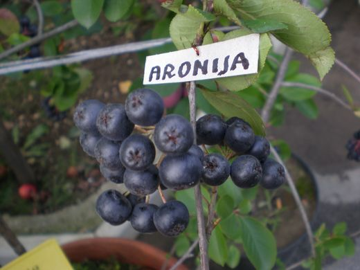 Aronija iz vrta Antona Baznika (Fotografija Anton Baznik, Slovenija)