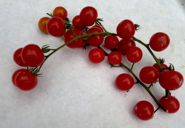 Sitna, lijepa i ukusna, ali je još nema kod nas (Fotografija Miljenko Brezak / Oblizeki)