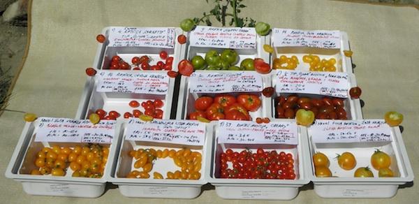 Dio rajčica pripremljen za ocjenjivanje (Fotogrfija Brkanović)