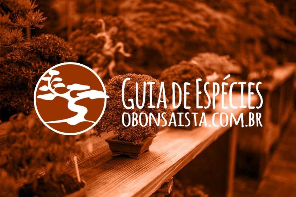 Guia de espécies de Bonsai O Bonsaísta