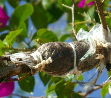 alporque como fazer alporquia bonsai