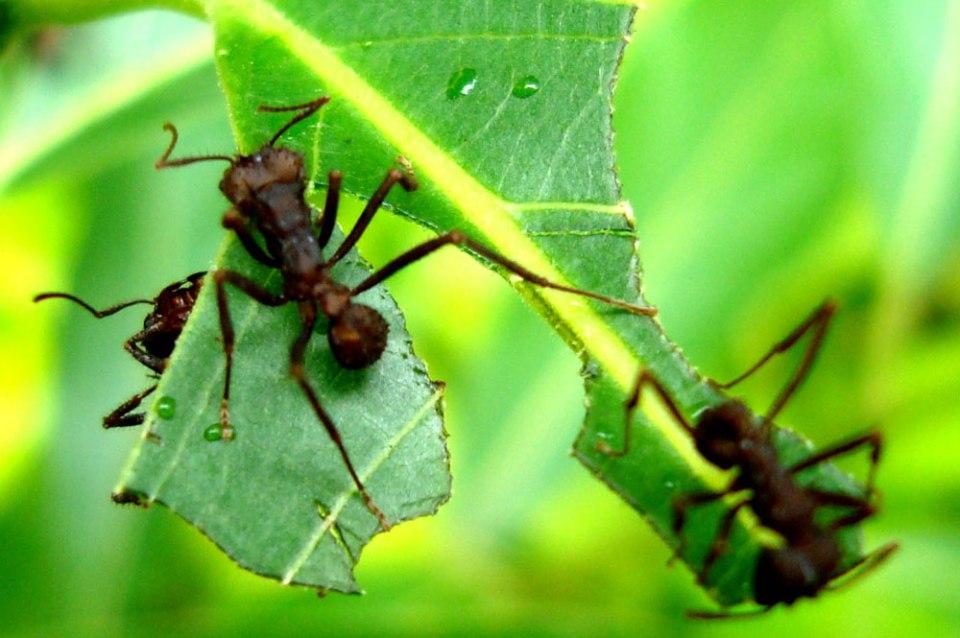 formigas guia de pragas e doenças do Bonsai