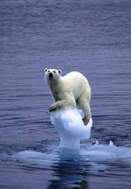global warm polar bear