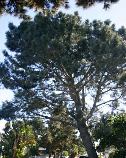 torrey pine longbranch js-ed