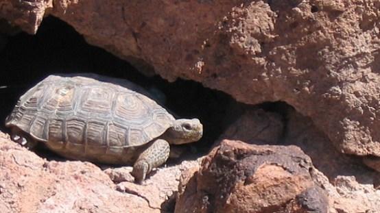 Desert Turtle USFWS