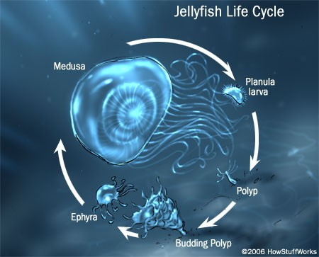 Jellyfish lifecycle