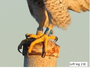 Peregrine falcon royL 02