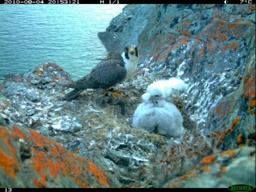 Peregrine falcon royL 07