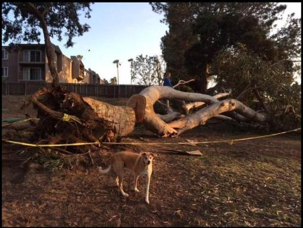OB Collier Park Tree fell 5-8-15 ashleyL