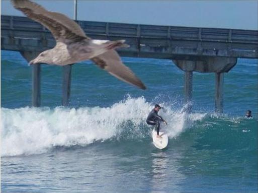 OB ACE foto seagull surfer
