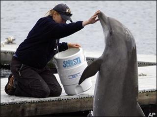 dolphin-navy