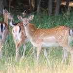 deer-1476827_640 by hansbenn - pixabay.com