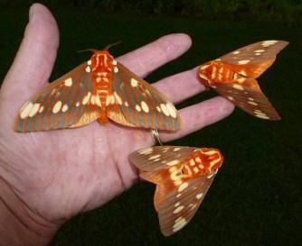Royal Walnut Moths