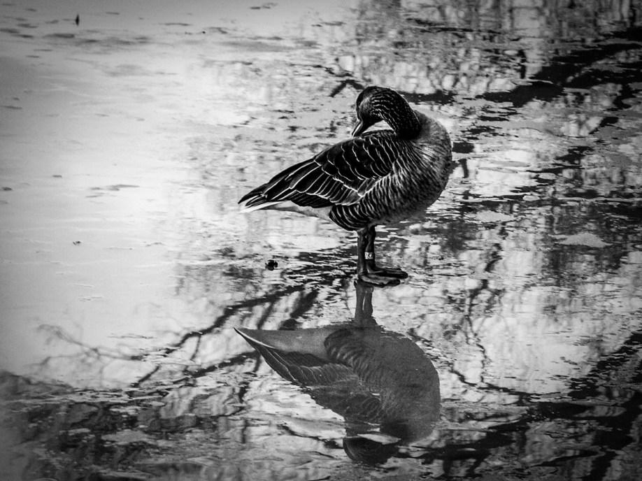 B&W shot of duck on frozen river
