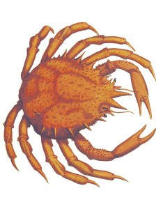crab-874307_640