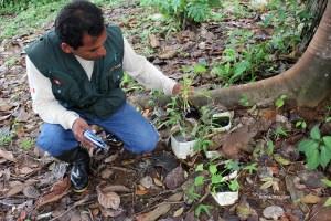 Guardaparque de la RNPS-SERNANP observa cultivos de la planta mordisco de rana.