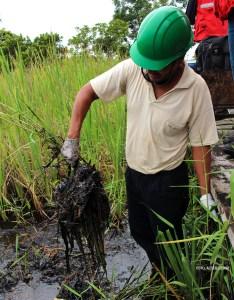 Vigilante ambiental de ACODECOSPAT muestra el petróleo en una raíz de totora.