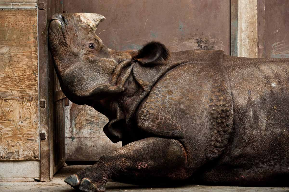 honorable-mention-nature-an-indian-rhinoceros-far-from-home-and-stuck-inside-with-late-winter-blues-at-the-toronto-zoo-stephen-de-lisle-indian-rhino-canadian-winter.jpg