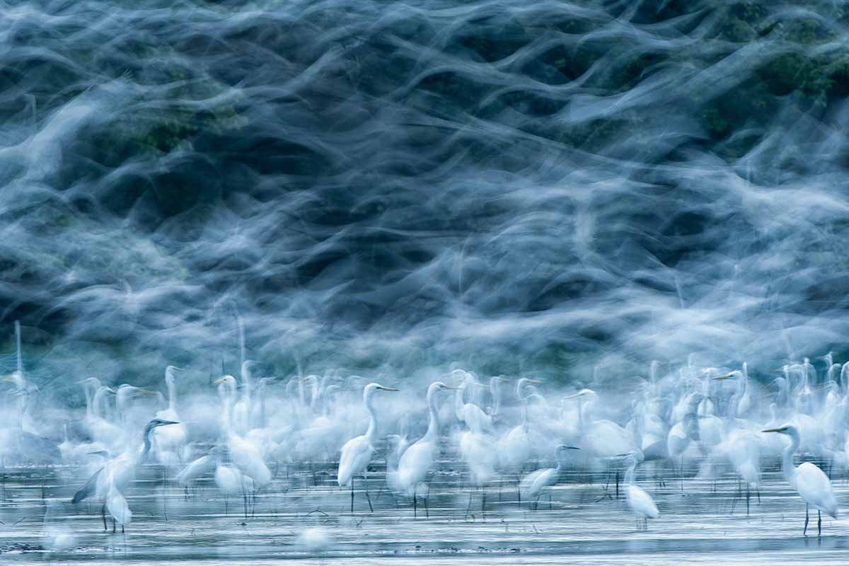 honorable-mention-nature-on-a-good-day-in-the-field-a-birder-might-see-flock-of-birds-great-egrets-tidal-area-of-the-danube-in-hungary--rka-zsirmon-flying-egrets.jpg