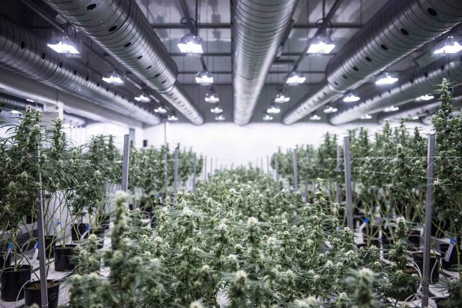 Image result for Cannabis Industry
