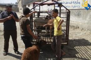 Gaza prepares for Eid ul-Adha buying sacrificial animals - Photo by Qudsnet