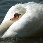 Swan flapping below the surface