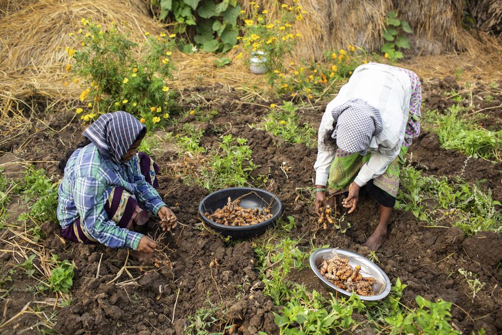 At the 2019 turmeric harvest in Vijayawada, Andhra Pradesh [Credit: The Indian Scene]