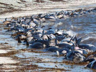 Falkland Island stranding of pilot whales