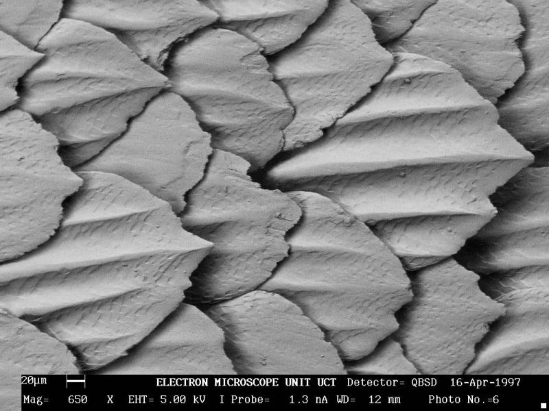 Extreme close-up of great white shark skin denticles.