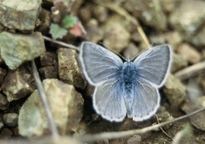 Mission Blue male resting on chert rocks