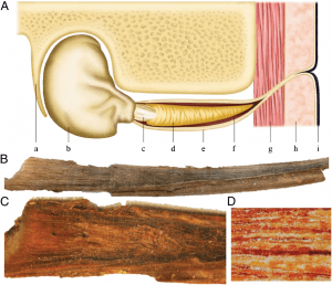 "Illustration of a blue whale earplug. (A) Schematic diagram showing the location of the earplug within the ear canal: (a) whale skull, (b) tympanic bulla, (c) pars flaccida/tympanic membrane (""glove finger""), (d) cerumen (earplug), (e) external auditory meatus, (f) auditory canal, (g) muscle tissue, (h) blubber tissue, and (i) epidermis. (B) Extracted blue whale earplug; total length 25.4 cm. (C) Earplug longitudinal cross-section. (D) View (20x) or earplug cross-section showing discrete laminae. (Trumble et al. 2013)"