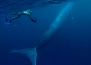 Blue whale and human diver off the coast of Costa Rica (Published by National Geographic March 2009)