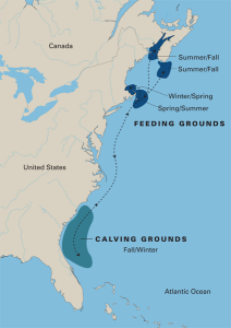 Feeding grounds: North Atlantic right whales migrate seasonally along the eastern coast of the United States. Credit: Adapted from E. Paul Oberlander, Woods Hole Oceanographic Institution Graphics; Data from North Atlantic Right Whale Consortium