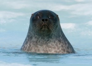 from http://www.thesealsofnam.org/ringed-seal/