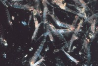 Fig 2: Krill, euphausiids, are abundant prey for snipe eels.
