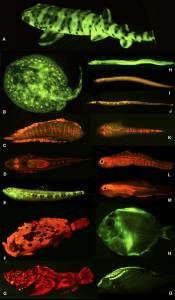 Figure 1. Diversity of colors and patterns in biofluorescent marine fishes (Sparks et al., 2014).