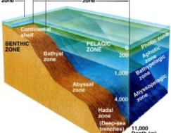 Fig 5: A diagram showing the zones of the ocean. The oceanic rim can be found between the continental shelf and the bathyal zone.