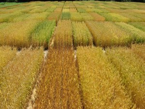 An example of a wheat crop. Source: http://www.uky.edu