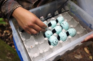 Sommer explains how decoy eggs contain a vomit-inducing chemical to discourage jays from preying on eggs of endangered murrelets. Photo courtesy Lauren Sommer/KQED.