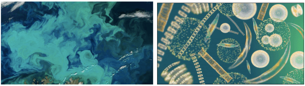 Figure 1. Satellite and microscopic images of phytoplankton assemblages.  Photo on left by NASA. Photo on right by Richard Kirby, Plymouth University
