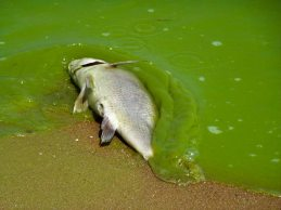 Fig 2: Nutrient addition can lead to algal blooms and can cause trouble for many other organisms. (Source: National Geographic)