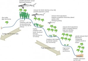 Illustration of potential ecosystem responses to loss of turtles (moving from the top to the left) or loss of large sharks with turtle conservation (moving from the top to the right).