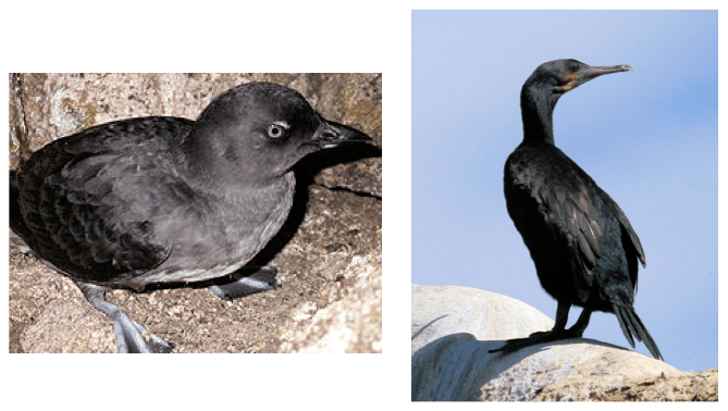 Figure 2. Cassin's auklet left [Wikipedia] and Brandt's cormorant right [friendsoflajollashores.com]