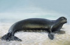 Figure 1: Caribbean monk seal (Monachus tropicalis) was highly harvested by humans and the species. The last sighting was reported in 1952 and the species was officially declared extinct in 2008 (nmfs.noaa.gov; image from www.andrewisles.com)