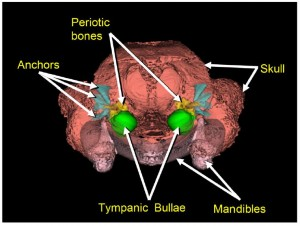 Figure 2. The view of the back of the skull – the periotic bones, anchors, and tympanic bullae make up the major bones of the tympanoperiotic complex, or ear, of all whales. The degree of connection between the bones may vary between species as well as between toothed and baleen whales.
