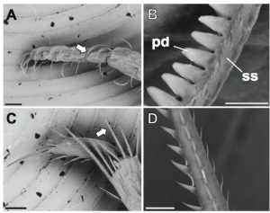A shows the tip of a third maxilliped.  B is the image resulting from zooming in on the area that the arrow in A points to.  C shows the tip of a pereiopod.  D is the image resulting from zooming in on the area that the arrow in C points to.  (Image taken directly from paper).