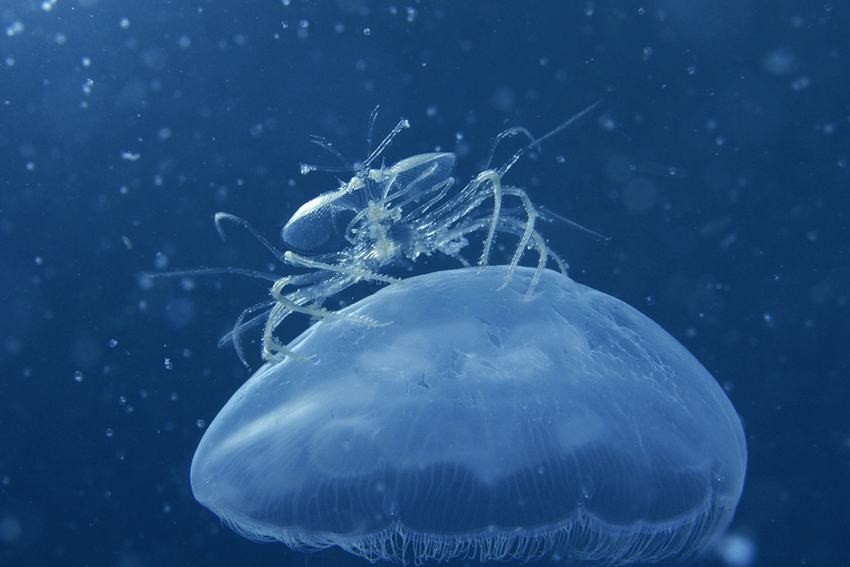 Yee-haw! This jellyfish-riding lobster has special appendages to ...