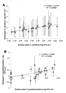 Figures 3 & 4: The log-linear relationship between Vibrio in the beach water and from the hand-wash extracts for A) Vibrio vulnificus and B) Vibrio parahaemolyticus.