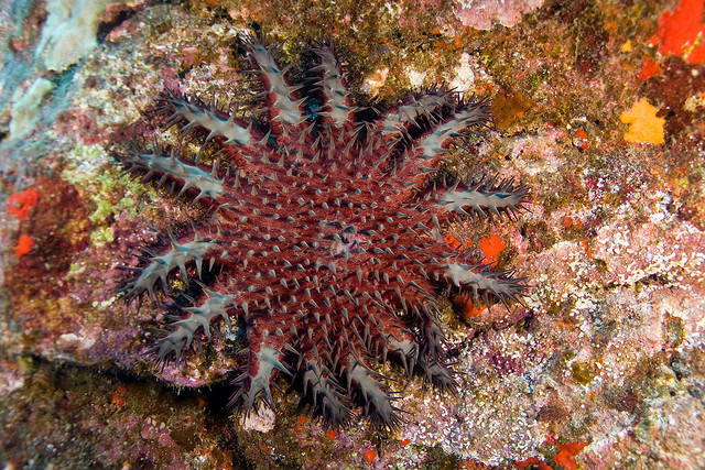 Figure 1: Crown of thorns sea star (Image Credit: Chris Wilson, flickr Creative Commons)