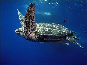 Figure 2. Leatherback sea turtle. Photo Source: Projecto TAMAR, http://naturalselectionsblog.blogspot.com/2013/03/whats-big-aquatic-warm-blooded-and-has.html